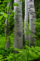 Birch Trees and Fern