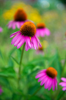 Fort Mountain Coneflower