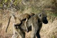 Mother baboon and sleeping baby