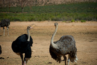 Ostriches at Aquila