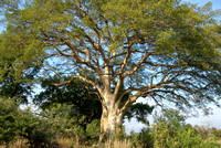Tree in morning light, Kruger National Park, South Africa