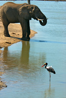 Elephant and saddle billed stork