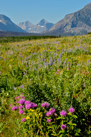 Glacier wildflowers