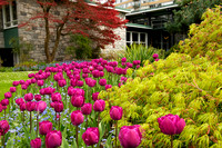 Tulips and Japanese Maples