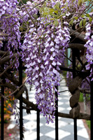 Wisteria and Wrought Iron